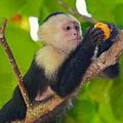 White-faced Capuchin Poster