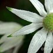 White Flannel Flowers Poster