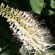 White Flower Panicle Poster