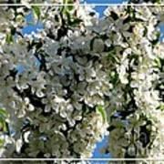 White Flowering Crabapple Tree Poster