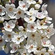 White Flowering Tree Flowers Poster