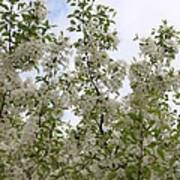 White Flowers On Branches Poster
