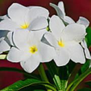 White Frangipani Poster