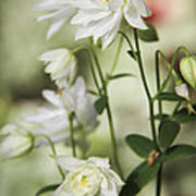White Frilly Columbines Poster