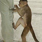 White-fronted Capuchin Checking Pocket Poster