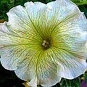 White Garden Petunia Poster