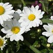 White Gerbera Daisy Poster
