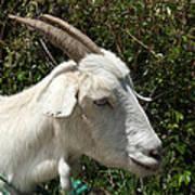 White Goat On A Farm Poster