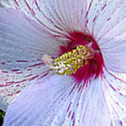 White Hibiscus Beauty Poster
