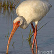 White Ibis In Grass Poster
