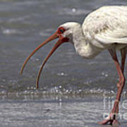 White Ibis On The Beach Poster
