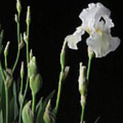 White Iris In Black Of Night Poster