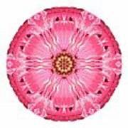 Light Red Zinnia Elegans V Flower Mandala White Poster