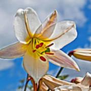 White Lily Flower Against Blue Sky Art Prints Poster