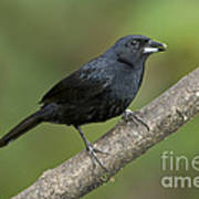 White-lined Tanager Poster