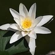 My White Lotus Poster