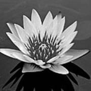 White Lotus Flower Poster