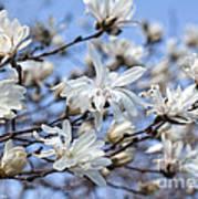 White Magnolia Magnificence Poster