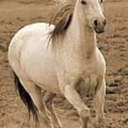 White Mare Approaches Number One Close Up Sepia Poster