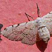 White Moth And Eggs Poster
