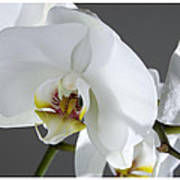 White Orchid 1b Poster