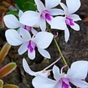 White Orchid Cluster With Hot Pink Poster