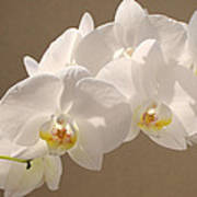 White Orchid Photograph Poster