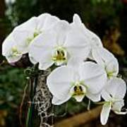 White Orchids 2 Poster by Timothy Blair