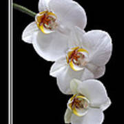 White Orchids On Black Vertical Poster