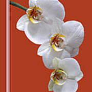 White Orchids On Terracotta Vdertical Poster