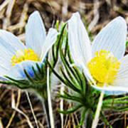 White Pasque Flower Poster