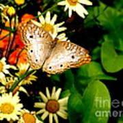 White Peacock Butterfly I I I Poster