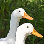 White Pekin Duck Poster