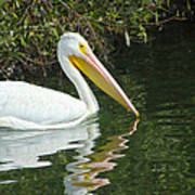 White Pelican Poster