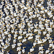 White Pelican Party Poster