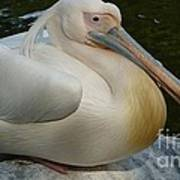 White Pelican Sitting Poster