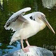 White Pelican Standing  Poster