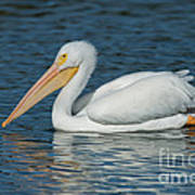 White Pelican Swimming Poster