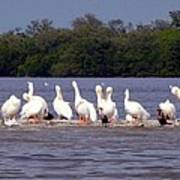 White Pelicans And Little Friends Poster