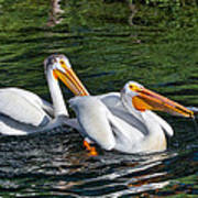 White Pelicans Fishing For Trout Poster by Kathleen Bishop
