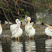 White Pelicans Grooming Poster