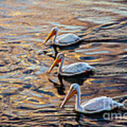 White Pelicans  In Golden Water Poster