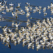 White Pelicans On Blue Poster