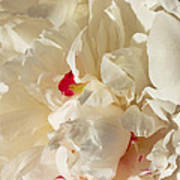 White Peony Flower Poster
