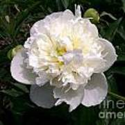 White Peony Watercolor Effect Poster