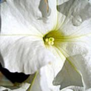 White Petunia Poster
