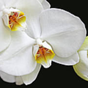 White Phalaenopsis Orchid Flowers Poster