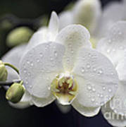 White Phalaenopsis With Water Drops 5797 Poster