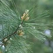 White Pine Flower N Spittle Bug Poster