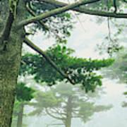 White Pine Trees, Wisconsin, Usa Poster